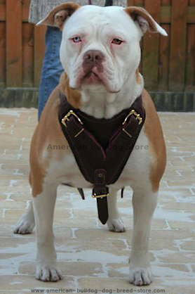 leather padded dog harness for American Bulldog