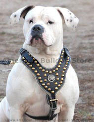 Leather dog harness for American bulldogs click here!!