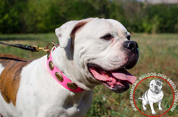 Pink Collar with Brass Oval Plates for Fashionable American Bulldog