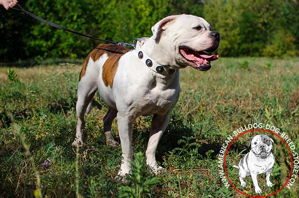 Comfortable Decorated American Bulldog Collar with Rust-free Hardware