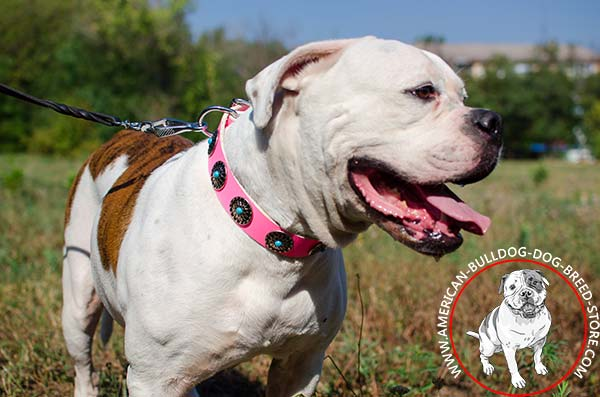 Attractive American Bulldog Collar Decorated with Silver-like Conchos