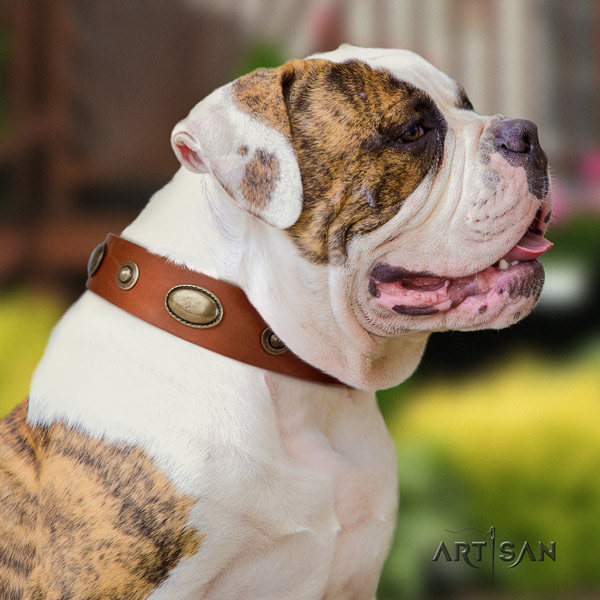American Bulldog exceptional genuine leather dog collar with embellishments for basic training