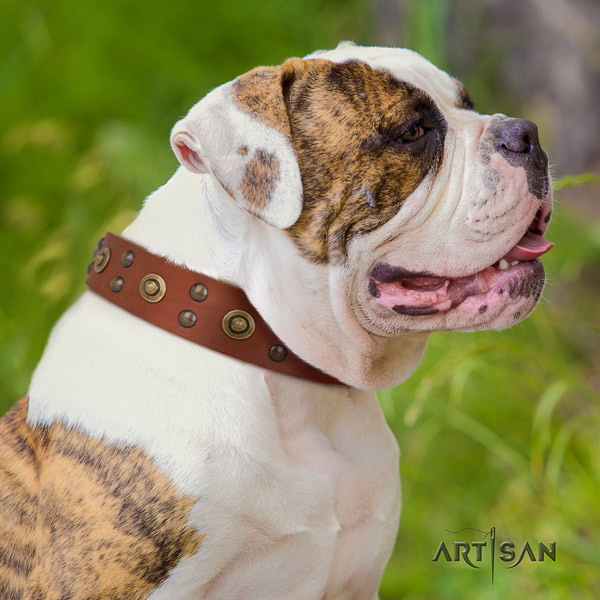 American Bulldog extraordinary full grain leather dog collar with adornments for comfortable wearing
