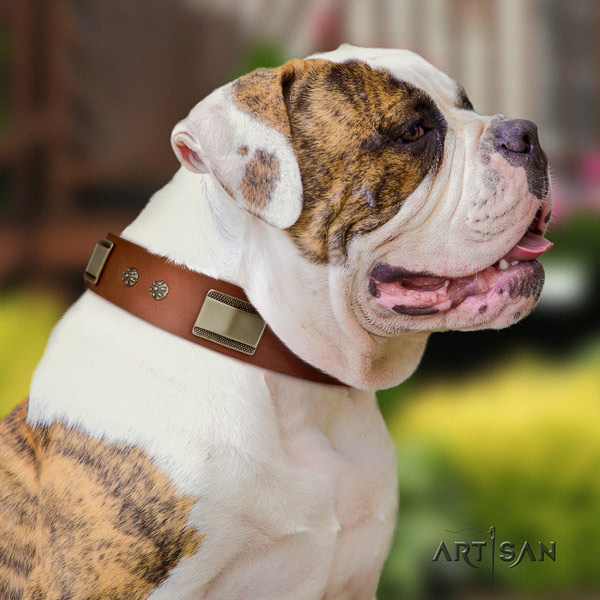American Bulldog exquisite leather dog collar with studs for everyday use