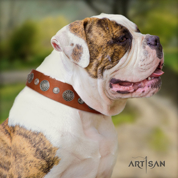 American Bulldog stunning full grain leather dog collar with studs for basic training