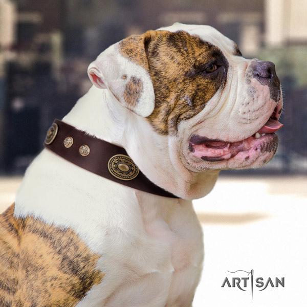 American Bulldog top notch genuine leather dog collar with adornments for everyday use