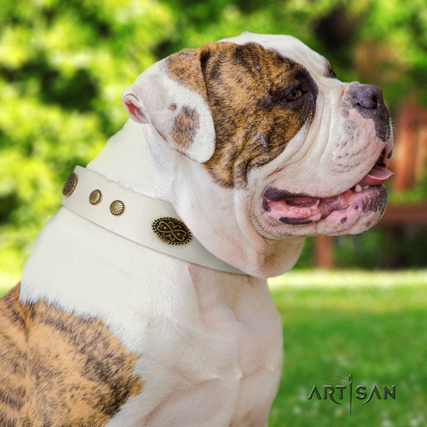 American Bulldog incredible full grain leather dog collar with embellishments for basic training