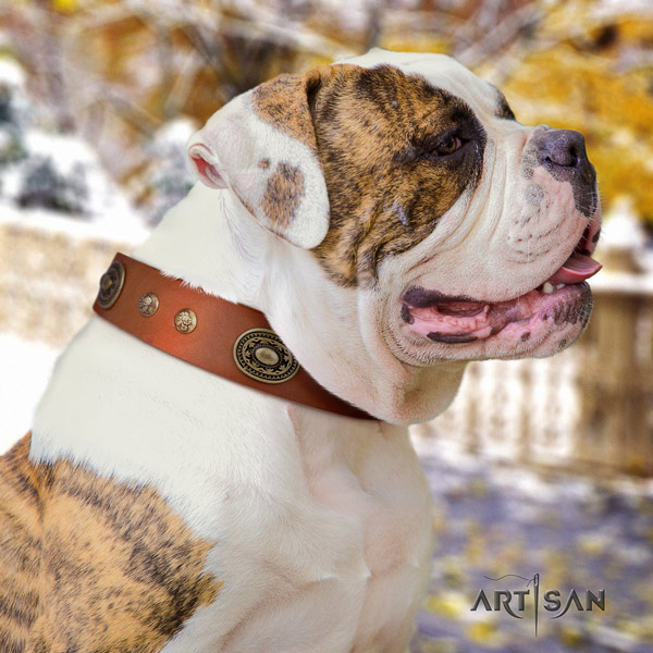 American Bulldog amazing genuine leather dog collar with studs for everyday walking