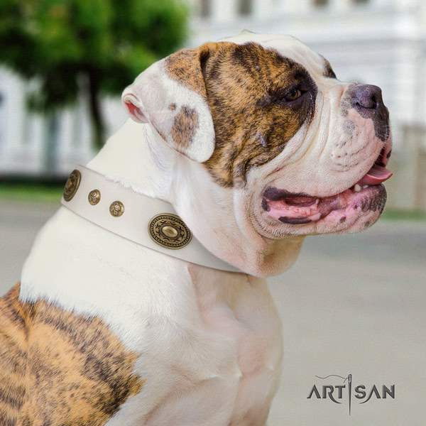 American Bulldog impressive genuine leather dog collar with studs for everyday use