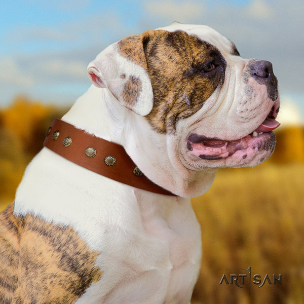American Bulldog top notch leather dog collar with adornments for everyday walking