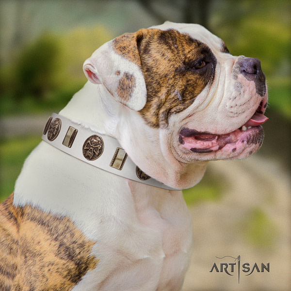 American Bulldog comfy wearing leather collar with incredible adornments for your doggie