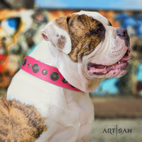 American Bulldog impressive full grain leather dog collar with embellishments for basic training
