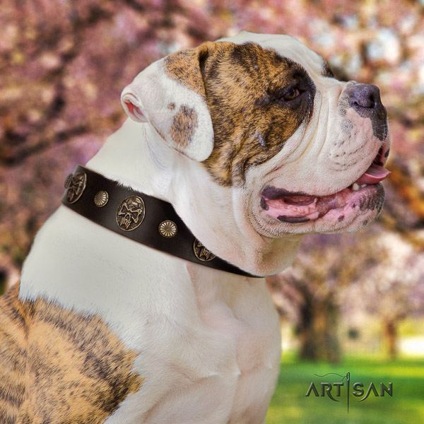 American Bulldog handy use genuine leather collar with designer adornments for your dog