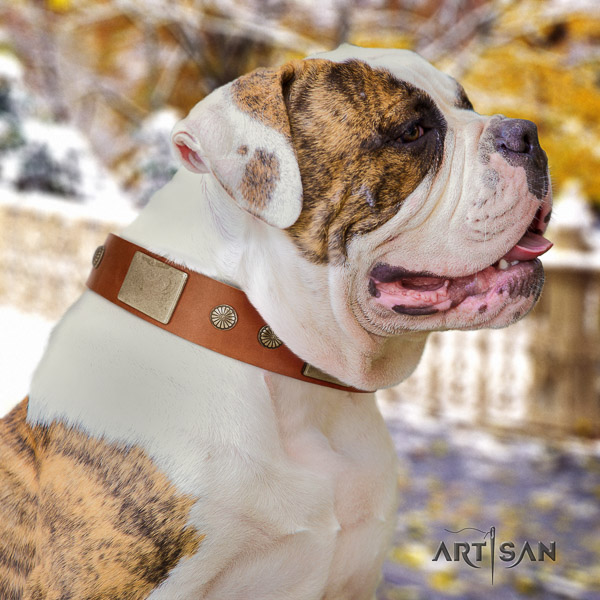American Bulldog fancy walking full grain leather collar with designer adornments for your four-legged friend