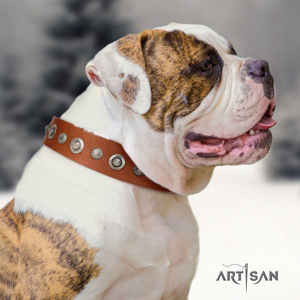 American Bulldog amazing genuine leather dog collar with adornments for easy wearing