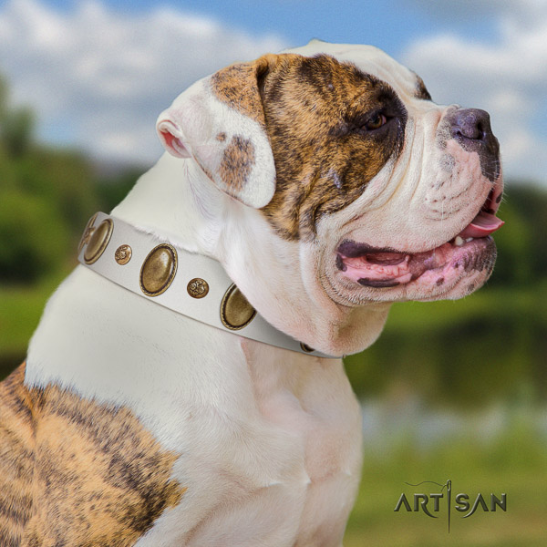 American Bulldog stunning full grain leather dog collar for stylish walking