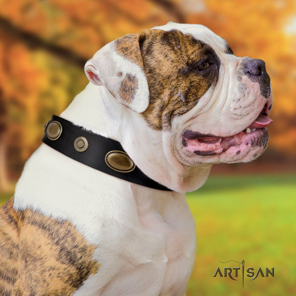 American Bulldog stylish leather dog collar with adornments for walking