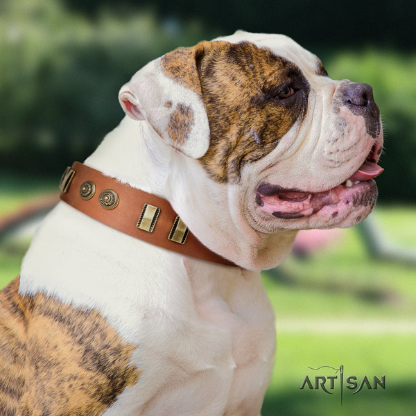 American Bulldog trendy leather dog collar with adornments for stylish walking
