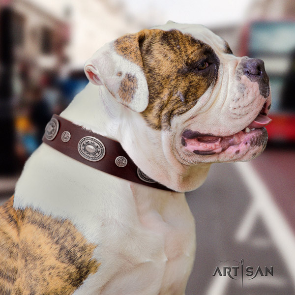 American Bulldog extraordinary genuine leather dog collar with studs for daily use