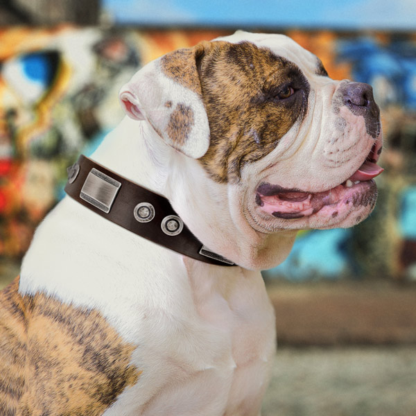 American Bulldog trendy full grain leather dog collar with studs for easy wearing