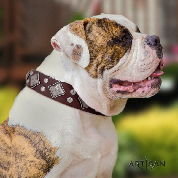 American Bulldog significant leather dog collar with adornments for walking