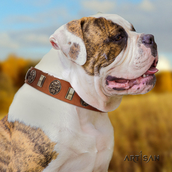 American Bulldog comfortable wearing full grain leather collar with top notch embellishments for your doggie