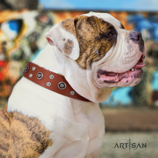 American Bulldog amazing leather dog collar with embellishments for everyday use