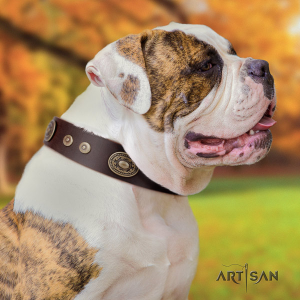 American Bulldog incredible leather dog collar with decorations for everyday use