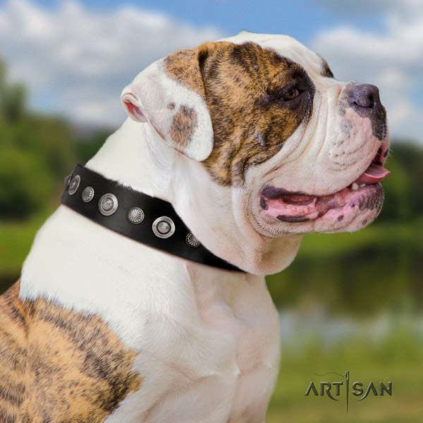 American Bulldog exceptional leather dog collar with embellishments for walking