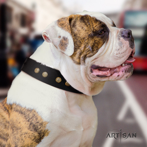 American Bulldog exquisite leather dog collar with adornments for comfy wearing