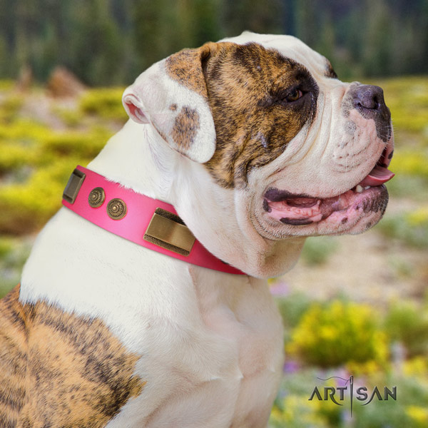 American Bulldog incredible genuine leather dog collar with adornments for daily use