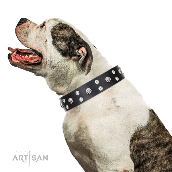 American Bulldog incredible full grain leather dog collar for daily walking