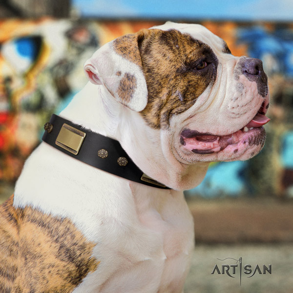 American Bulldog inimitable full grain leather dog collar with adornments for daily use