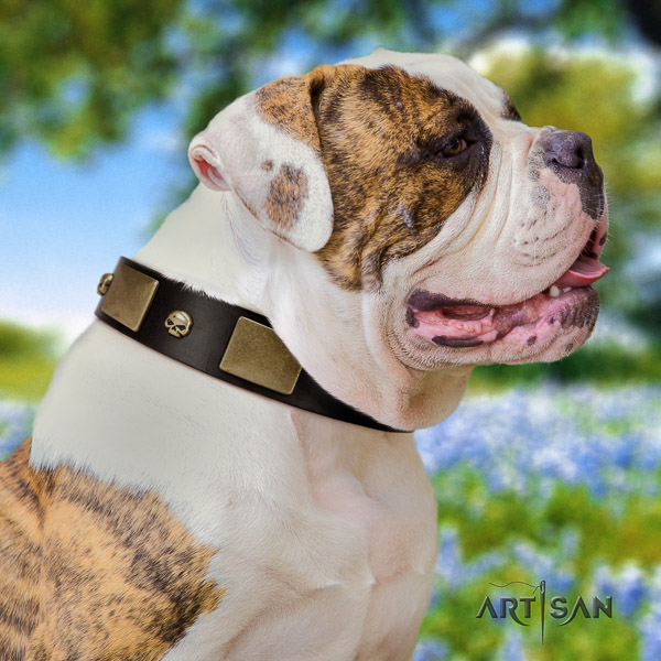 American Bulldog incredible leather dog collar for walking