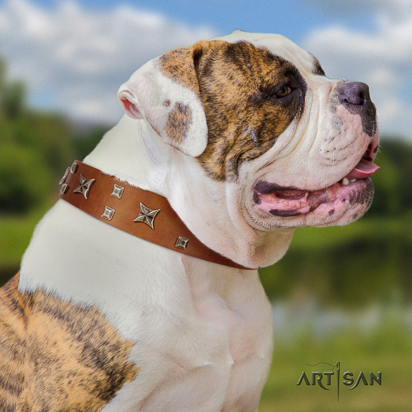 American Bulldog incredible full grain natural leather dog collar for everyday use