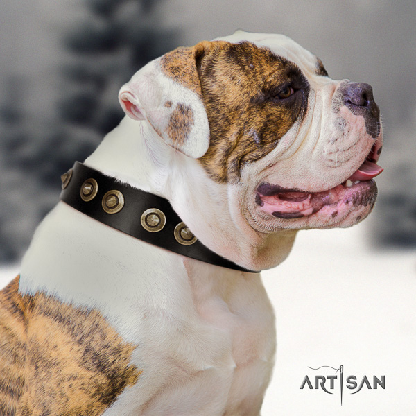 American Bulldog daily walking natural leather collar with significant studs for your canine