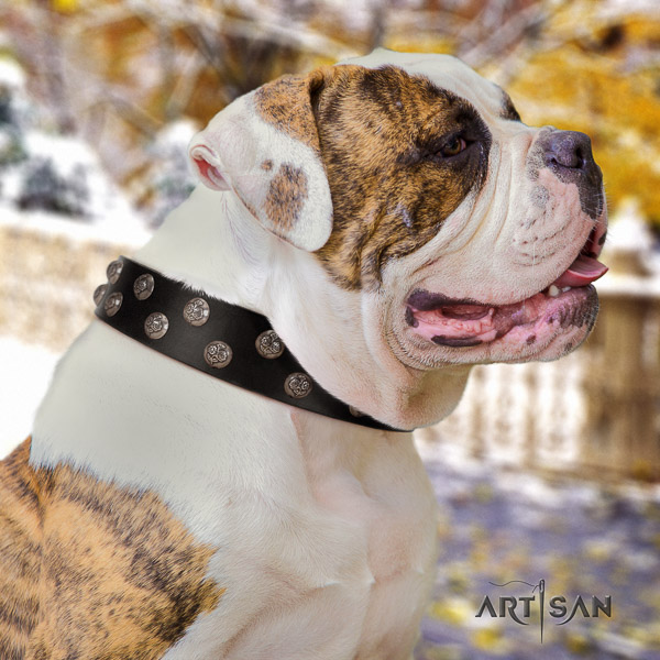 American Bulldog exceptional full grain leather dog collar for fancy walking