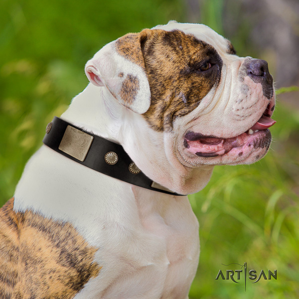 American Bulldog basic training natural leather collar with awesome decorations for your doggie