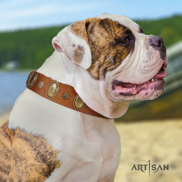 American Bulldog awesome full grain natural leather dog collar for everyday use