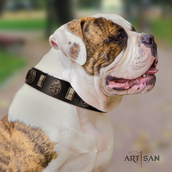 American Bulldog everyday use genuine leather collar with impressive embellishments for your canine