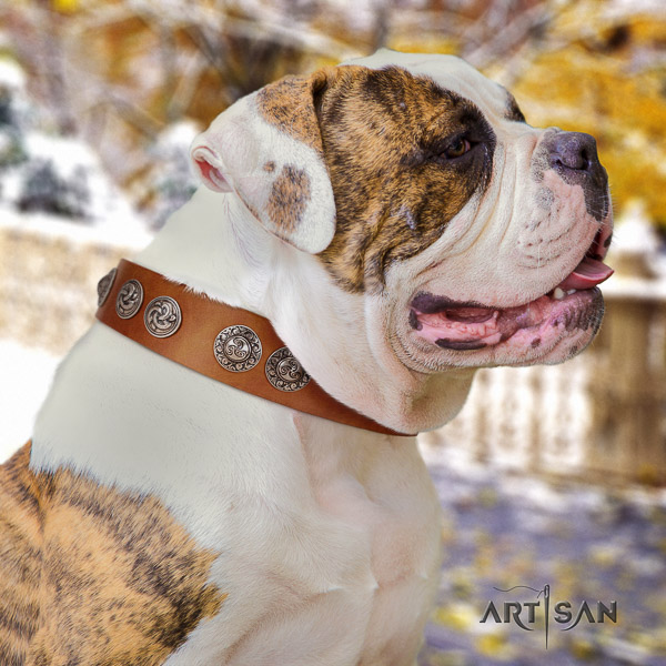 American Bulldog exquisite full grain leather dog collar for fancy walking