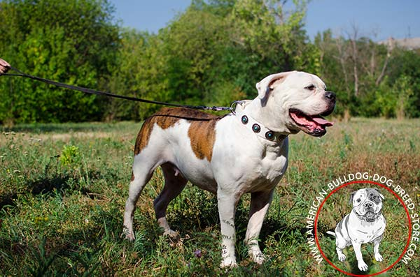 American Bulldog white leather collar of high quality with handset adornment for stylish walks