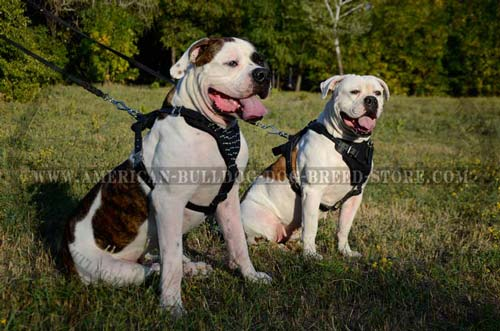 American Bulldog feels comfort and power wearing this spiked harness