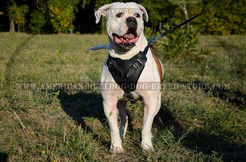 Agitation is safe for your bully with this harness