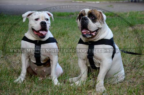 Professionals recommend this Bulldog nylon harness
