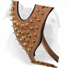 Decorated with gold color spikes thewill make your American Bulldog look superb