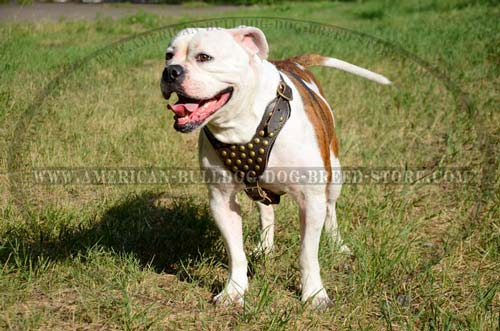 Non-restrictive American Bulldog harness