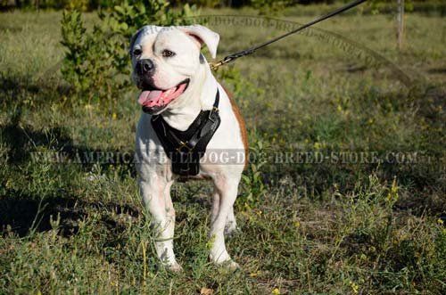 Strong yet soft leather harness fitting American Bulldog the best way
