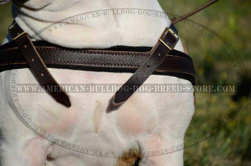 Easy to fix leather harness for your Bulldog