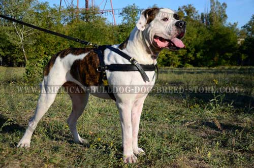 Bulldog harness with padded chest strap